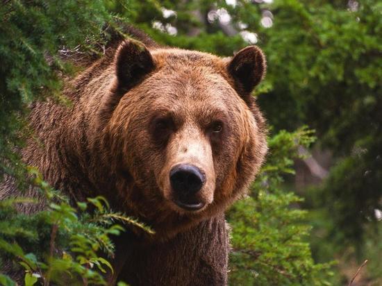 Красноярский ученый рассказал, почему медведи нападают на людей