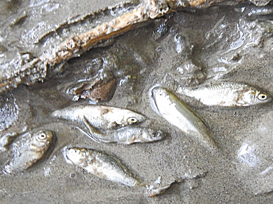 Названы причины кастастрофической гибели рыбы в Волге