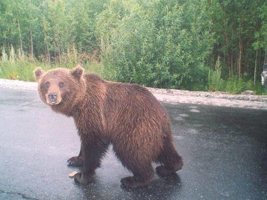 В окрестностях «Томскнефтехима» обнаружили двух бурых медведей