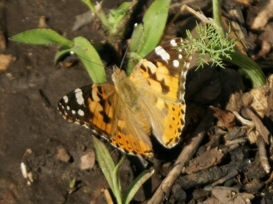 Оренбург атаковали… бабочки