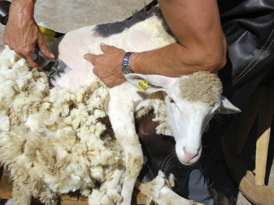Калмыкия завершает стрижку овец