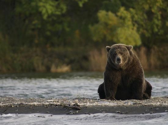 В гости к югорскому сторожу рыбзавода зашел медведь