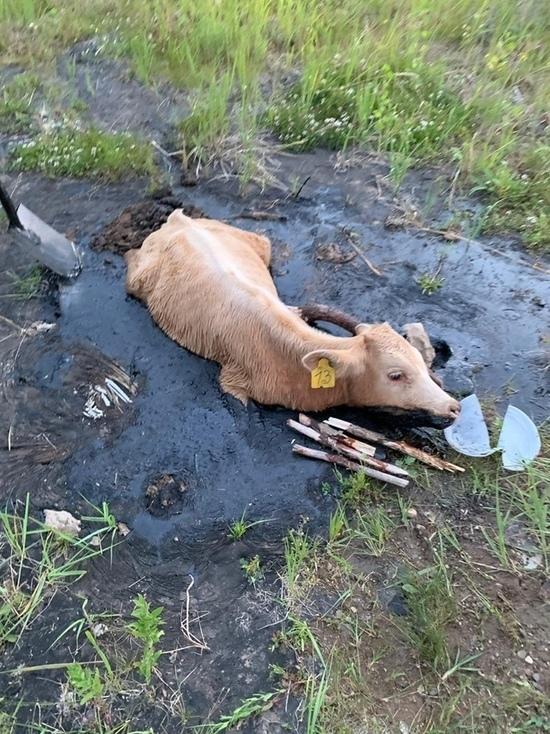В Набережных Челнах спасатели вытащили теленка из лужи битума