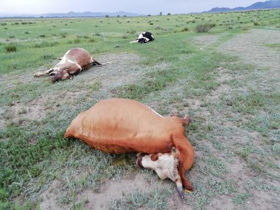 В одном из районов Тувы молния убила трех коров
