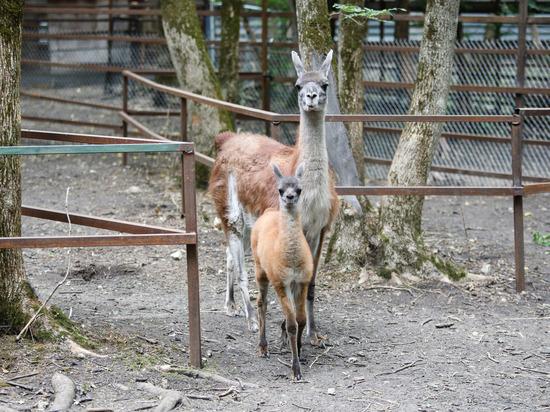 В Ставрополе приняли роды у ламы и верблюда