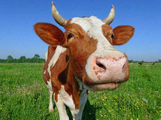 В Челябинской области открыли штрафстоянку для коров