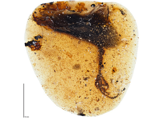 В янтаре нашли лапу вымершей птицы с огромным средним пальцем