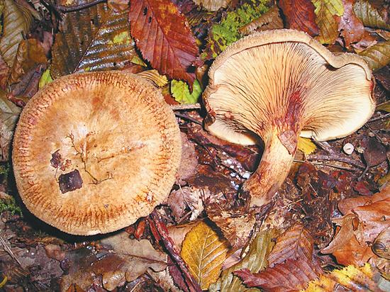 В Подмосковье появились грибы-убийцы, которые трудно отличить от съедобных