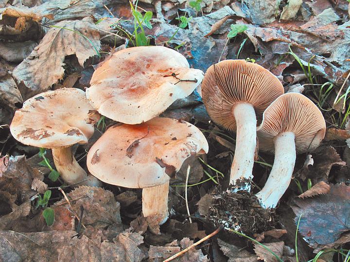 Названы внешне съедобные, однако ядовитые грибы