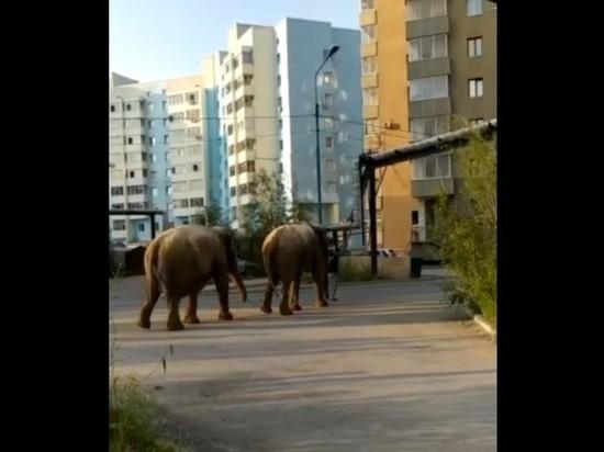 В Якутске сняли видео, как мужчина выгуливал двух слонов