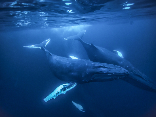 Полиция не подтверждает задержание в Бердске куратора «Синего кита»