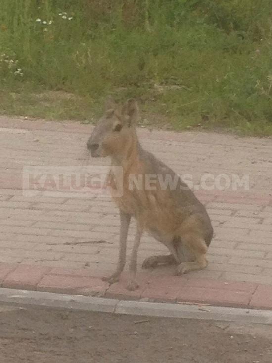 Сбежавшего из зоопарка патагонского зайца поймали на улицах Калуги