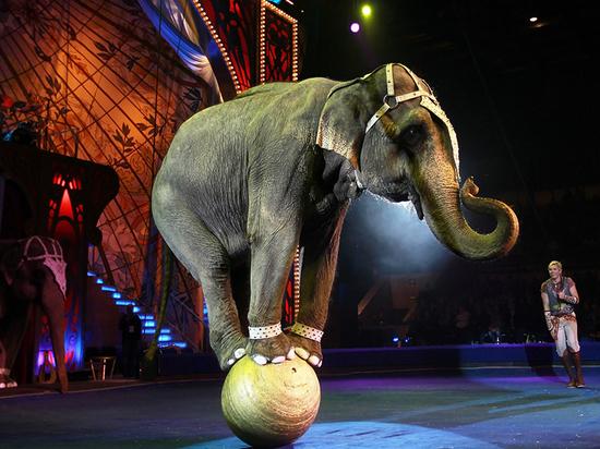 Калининградцам предлагают поддержать запрет на выступление Варшавского цирка шапито со слонами