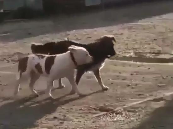 В Новороссийске дворняжка украла с привязи породистого пса