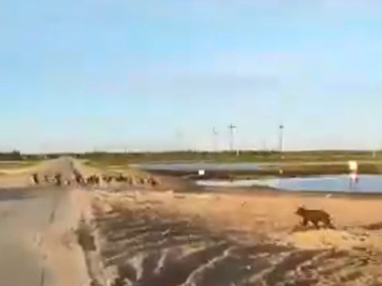 Охоту медведя на оленей заснял водитель в ЯНАО