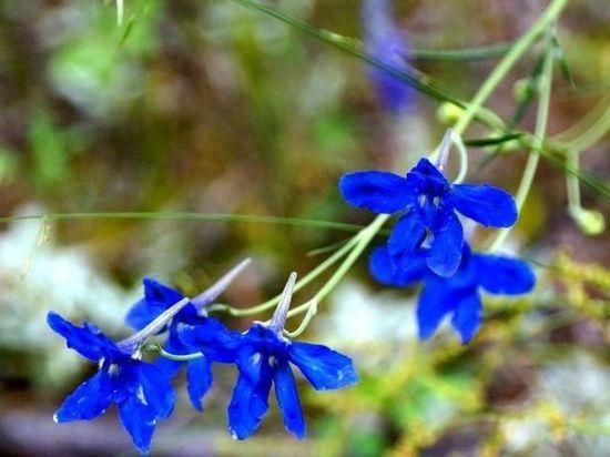 В заповеднике Красноярского края цветут смертельно опасные цветы