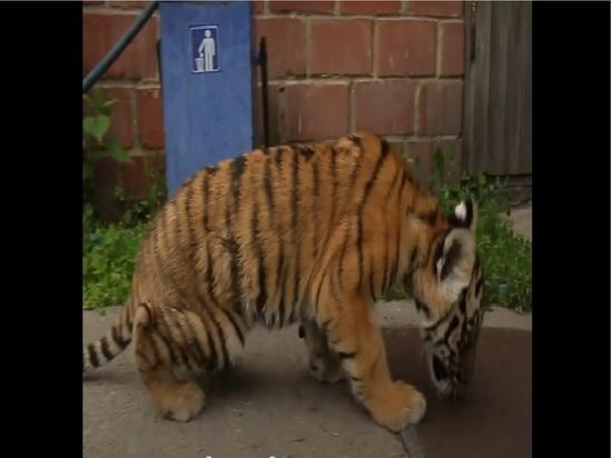 Судьба едва не похищенного из передвижного зоопарка в Бузулуке тигренка в руках ветеринара