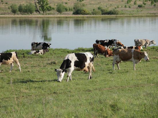 В Соль-Илецком районе пастух не досмотрел за коровой
