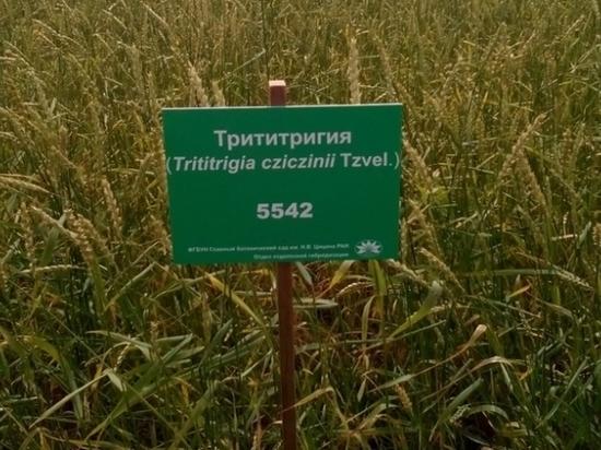 В Удмуртии могут начать выращивать новую злаковую кльтуру