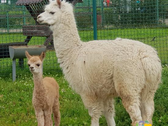 В Ярославском зоопарке родилась маленькая лама