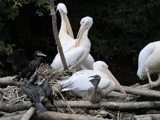 В зоопарке родился первый летний пеликан