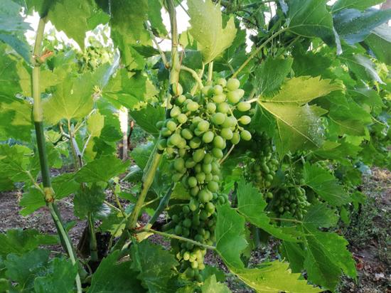 Впервые в России: в Севастополе будут готовить элитных виноградарей