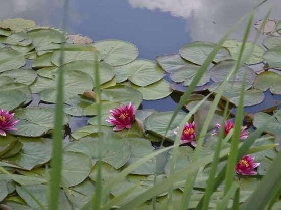Неземная красота: в Волово зацвели водяные лилии