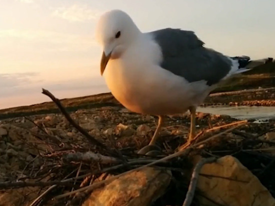 В Британии чайка унесла чихуахуа