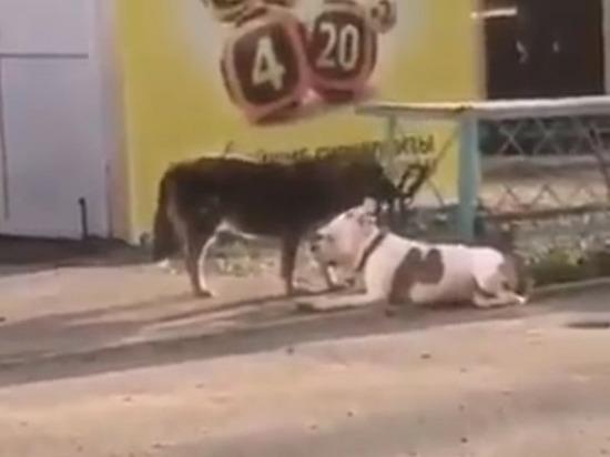 Дворняга украла привязанного пса в Ноябрьске