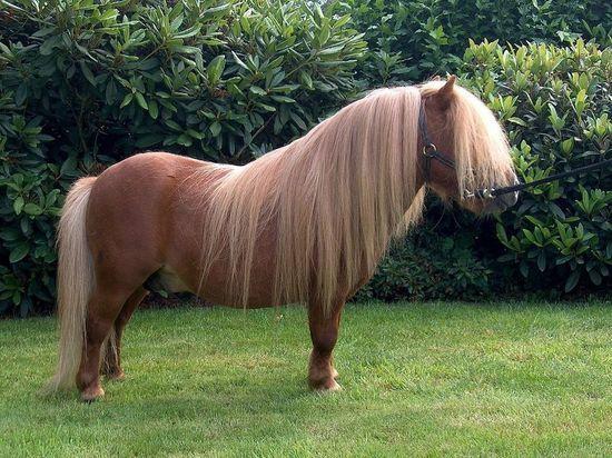 В зоопарке стараниями посетителей умер от заворота кишок шетленский пони