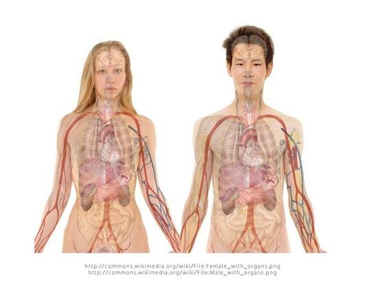 Ученые назвали человеческий орган, определяющий срок жизни