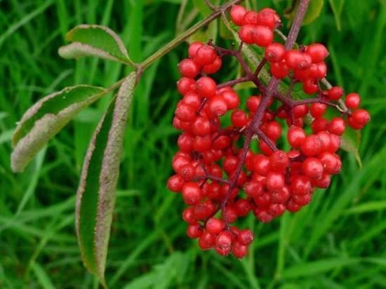 Юная жительница Кваркенского района наелась «волчьих ягод»