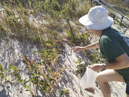 Авандюну Куршской косы укрепят с помощью растений