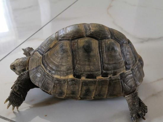 В Балтийске разыскивают владельца сбежавшей черепахи