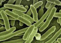 Исследователи из Университета штата Юта (США) определили особый класс кишечных бактерий, который предотвращает ожирение у мышей