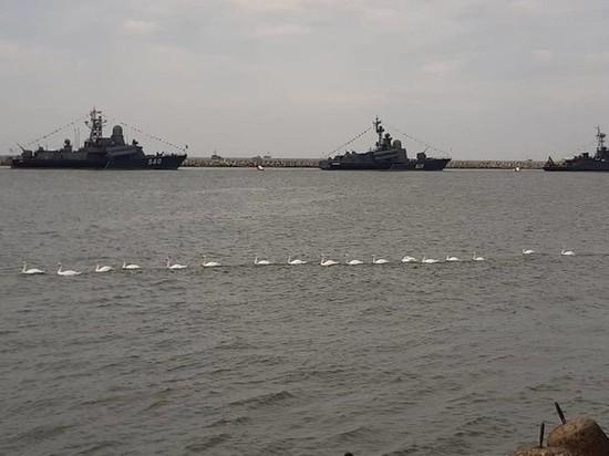 В день ВМФ патриотически настроенные лебеди устроили парад в Балтийске