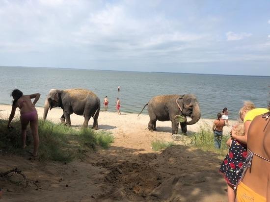 В Калининграде слонов из цирка-шапито привезли искупаться на карьер