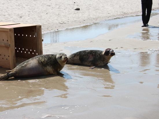 Тюленей, прошедших курс реабилитации в Калининградском зоопарке, выпустили на волю