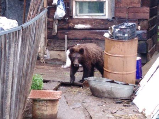 В Нижнеудинском районе в деревню забрался агрессивный медведь