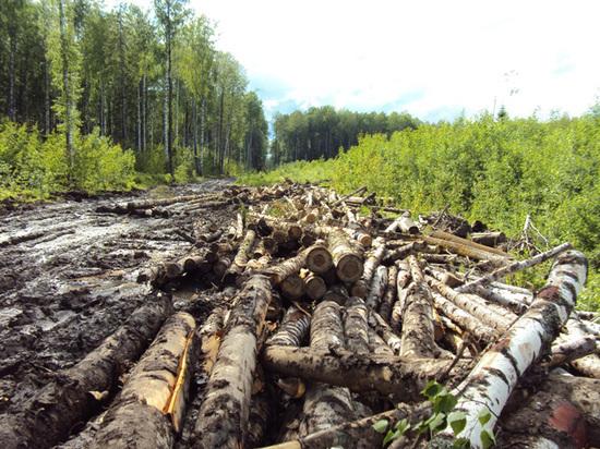 В Прикамье выявлена незаконная рубка леса в особо крупном размере