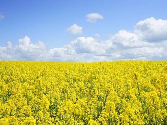 Тульское сельхозпредприятие оштрафовано за продажу рапса без декларации