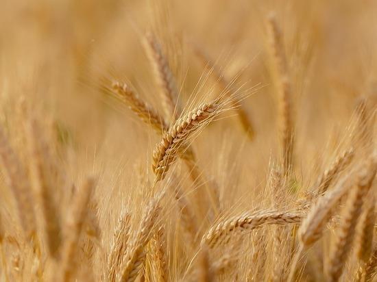 Губернатор: на Ставрополье собрали 8,3 млн тонн зерна без кукурузы