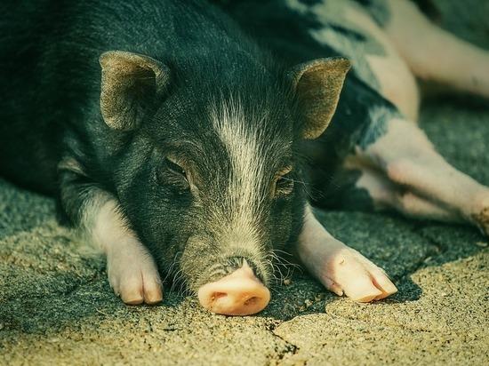 Тульская область планирует увеличить производство свинины на 60 тысяч тонн в год