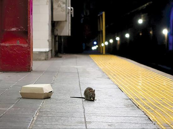 Крысы в мегаполисах: проблема без решения?