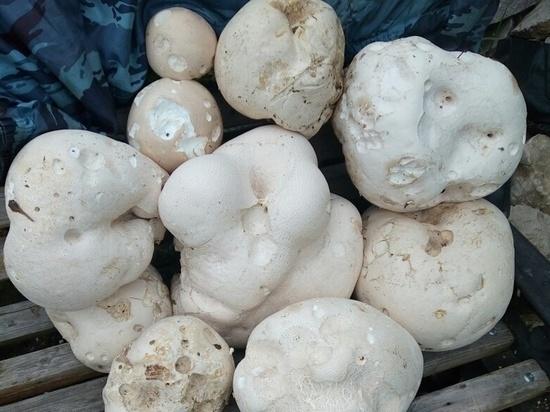 Туляки массово находят  гигантские грибы-шары