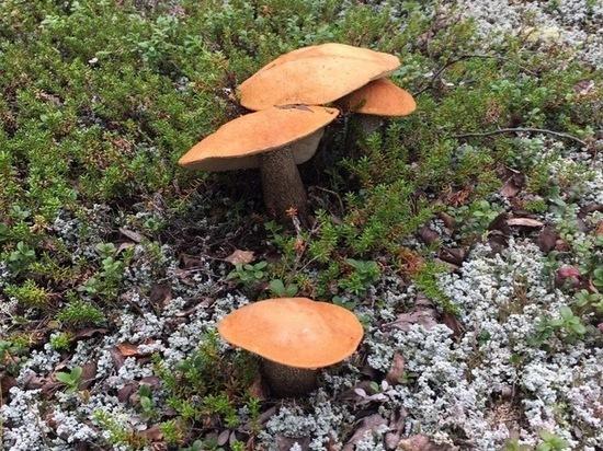 Под Салехардом обнаружилось невероятно грибное место
