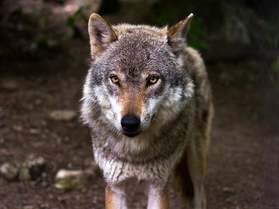 Волк насмерть загрыз отправившуюся в магазин 14-летнюю