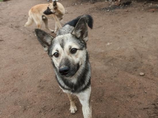 Собака кусачие от жизни бродячей: За год в Бурятии уличные псы напали на 5 тыс. человек