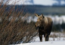 В Тверской области осудят мужчину за убийство лося