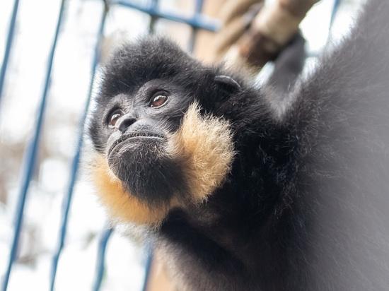 В новосибирском зоопарке появился исчезающий вид обезьян